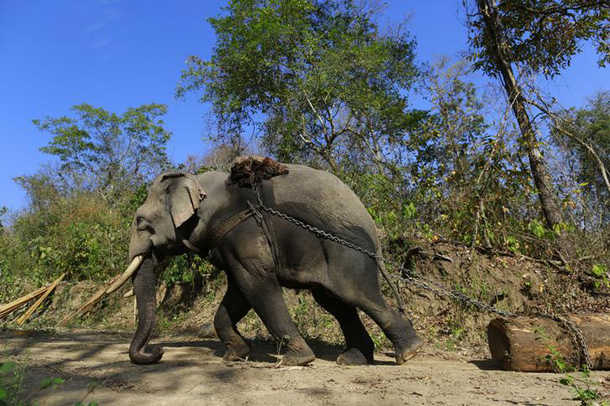 An elephant pulls a teak log in a logging camp in Pinlebu township, Sagaing, northern Myanmar, in this picture taken March 6, 2014. Myanmar will ban the export of raw timber logs from April 1, 2014 choking off profits in a sector that provided critical funding to the country's former military rulers for decades, as a new reformist government steps up efforts to save forests. To match story MYANMAR-FORESTS/ Picture taken March 6, 2014. REUTERS/Soe Zeya Tun (MYANMAR - Tags: POLITICS ENVIRONMENT BUSINESS ANIMALS TPX IMAGES OF THE DAY)
